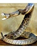 ft001 : สารคดีงู (Snake) 1 DVD